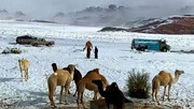 خرید و فروش شتر در صحرای پوشیده از برف عربستان