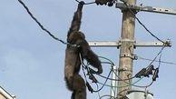 سرانجام شامپانزهای که سیم های برق را برای بازی انتخاب کرد