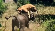 ناک اوت شدن شیر توسط بوفالو