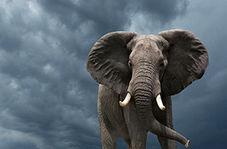 جراحی موفق آمیز یک فیل وسط باغ وحش