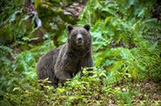 دفاع خرس قهوهای از قلمرو خود در برابر خرس جوان