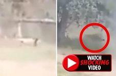 لحظه حمله مرگبار شیر به مرد جوان هندوستانی!
