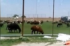 زمین چمن فوتبال یا چراگاه گوسفندان؟!