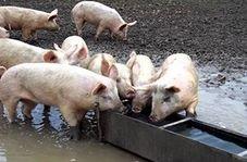 زجرکش کردن خوک ها در کشتارگاه