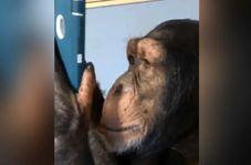 میمونی که یک کاربر حرفهای اینستاگرام است!