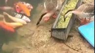 غذا دادن اردک به ماهیها!