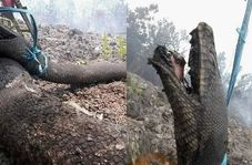 لاشه مار پیتون غول پیکر ساکنان محلی را به وحشت انداخت