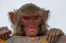 دوچرخه سواری دیدنی یک میمون