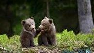 بازیگوشی دیدنی دو توله خرس در وسط جاده