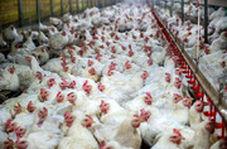 در غذای مرغها در مرغداری تریاک میریزند؟
