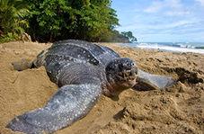 سرعت حیرت انگیز لاکپشت دونده