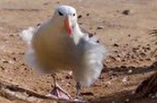 روش حیرت انگیز مرغابی دریایی برای پرواز