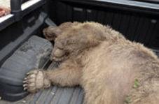 کشتن بی رحمانه یک خرس در حال انقراض در ارومیه/ حاوی تصاویر دلخراش
