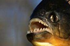 ماهی گوشتخواری که قدرت تخریب حیرت انگیزی دارد