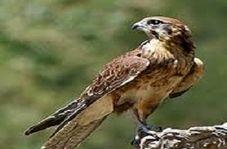 """نجات پرنده شکاری گرفتار شده در روستای """"انقلاب"""""""