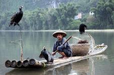 ویدئویی حیرت انگیز برده کشی چینیها از مرغان ماهیگیر!
