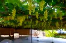 برداشت ۳ تن انگور از پشت بام یک خانه در ارومیه!