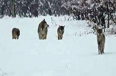 فیلمی دیدنی از حرکت دستهجمعی گرگها در خرمدره