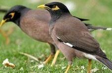 کرونا فقط به حیوانات وحشی خارجی شهامت نداده!/مرغ های مینا زیبا در چمن های بلوار کشاورز