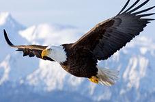 له شدن عقاب پس از برخورد شدید با هواپیما در آسمان
