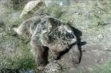 مرگ یک قلاده خرس در شهرستان مشگین شهر با اسلحه شکاری