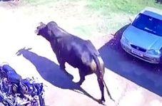 خسارت دیدن یک خودرو در شاخ به شاخ شدن گاوها