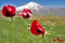 بازدید گردشگران از گلهای شقایق در دشتهای کوه دماوند