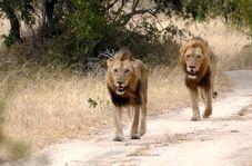 وحشت رانندگان از پرسه شیرهای سرگردان در جاده!