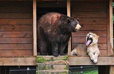 نبردی مهیج میان شیر و خرس