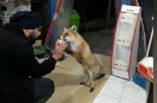 برخورد زیبای صاحب سوپرمارکت با یک روباه