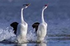 راه رفتن جالب و عجیب پرندهای زیبا بر روی آب