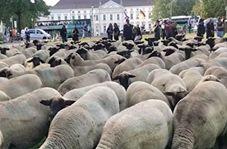 صف آرایی گوسفندها در مقابل کاخ ریاست جمهوری آلمان