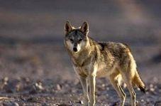 رؤیت یک قلاده گرگ در کوههای کرمانشاه