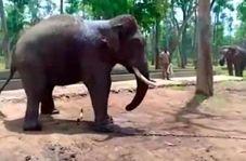 کار زیادی که فیل بیچاره را از پا درآورد