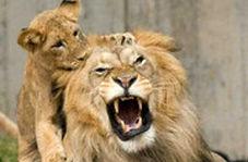 تصاویر دیدنی از برخورد شیر با بچه هایش
