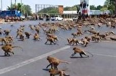 جنگ وحشتناک صدها میمون بر سر یک تکه غذا