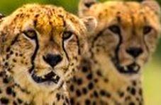 شکار دیدنی یک گوزن یالدار توسط چند یوزپلنگ گرسنه