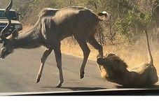 شکار گوزن توسط شیر مقابل چشم توریستها