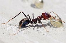 سرقت الماس گرانقیمت توسط یک مورچه