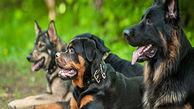 تکه و پاره کردن یک سگ توسط سایر سگها