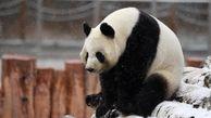 ذوق زده شدن خرسهای پانادا در اولین بارش برف