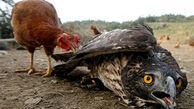 جنگ مرغ با عقاب برای حفاظت از جوجههای خود