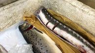 قیمت ماهی ازون برون و آزاد دریای خزر صید قاچاق چند است؟