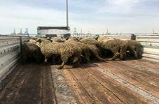 ذبح گوسفندان دم دراز برای تنظیم بازار گوشت