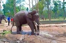 جان دادن فیل بیماری که به زنجیر کشیده شده بود