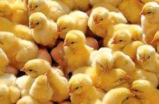زنده به گور کردن جوجهها توسط مرغداریها