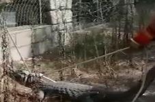 لحظه به دام انداختن تمساح فراری از سیرک