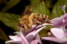 استفاده از حشرات،برای از بین بردن آفات محصولات کشاورزی