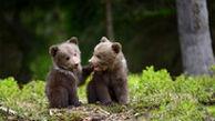 نجات دو توله خرس از مرگ حتمی در شهرستان مرودشت استان فارس