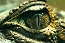 سرعت خیره کننده یک تمساح در لحظه شکار